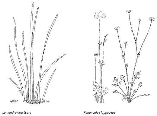 Lomandra bracteata, Ranunculus lappaceus