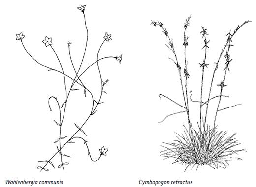 Wahlenbergia communis, Cymbopogon refractus